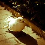 Dove by TammyPhotography