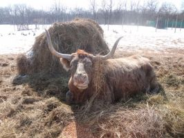 Laura the Longhorn by AnnaLVG
