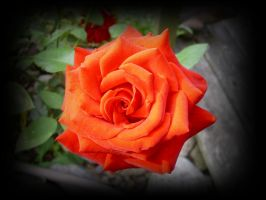 Lonely Rose by Mayorati