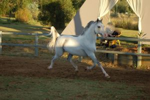 JA Arab Grey trot side on by Chunga-Stock
