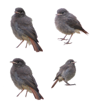 Birds PNG by Pagan-Stock