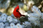 Northern Cardinal by Jay-Co