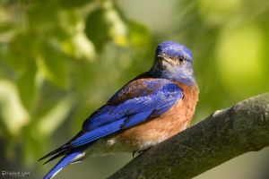 Western bluebird by CyclicalCore