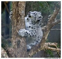 Baby Snow Leopard: Climb Tree by TVD-Photography