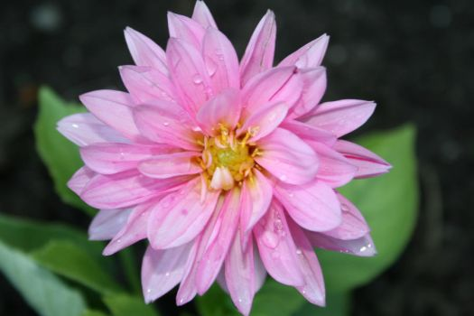 Pink Flower After Rain by suhaildawood