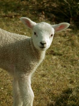 wee lamb by harrietbaxter