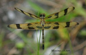 Spotted Dragonfly by Aries18o18