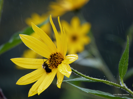 Yellow daisy with bee by Mogrianne