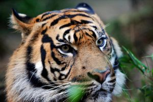 Tiger close up by suuntoo