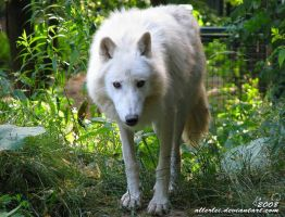 Arctic wolf: Do you have... by Allerlei
