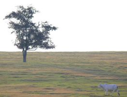 A Tree and a Brahma by Rjet33