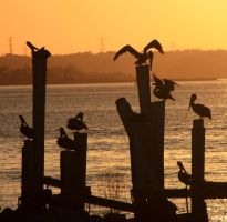 Pelicans hanging around by ahley