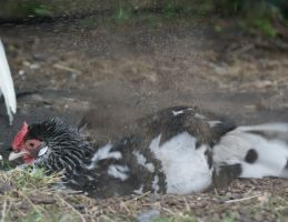 Mud-rolling Chicken by little--grasshopper