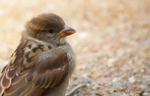 Juvenile sparrow portrait 1 by Yoonett
