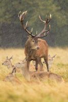 Red Deer In The Rain by nitsch