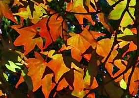 painted acer by stevekrh19