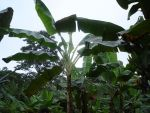 Banana Plants by Lish-55
