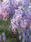 Wisteria Bumble Bee by IsabelDay