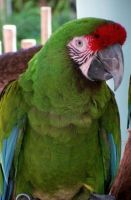 Green Amazon Parrot by CabelaOnly