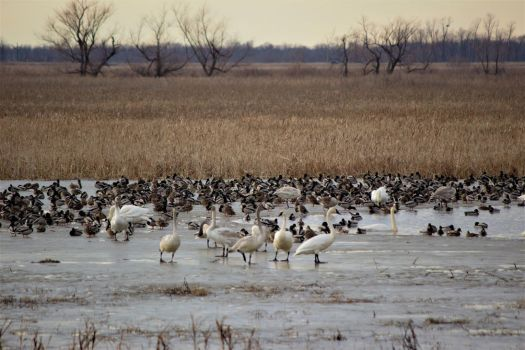 Snow Geese and Ducks...Sooo Many Ducks by mrcbax