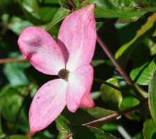Pink dogwood by snoogaloo