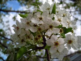 Pear Blossoms by leatherzebra