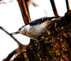 White-breasted Nuthatch 2 by tastybedsore