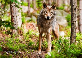 The Curious Wolf by PictureByPali