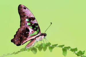 Tailed Jay 220310 by inckurei
