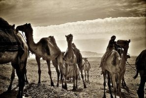 The camels by Nile-Paparazzi