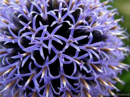 Thistle by Zlajda95