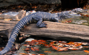Young American Alligator by charfade