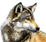 Colored Pencil Drawing of a Wolf by JasminaSusak
