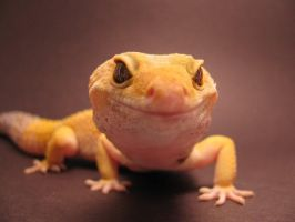 Leopard Gecko Close-up by SketchingGecko