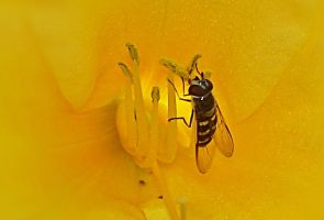 [Photo] Golden Bee by Syd-Nick