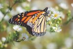Monarch Butterfly by MacroMaster22