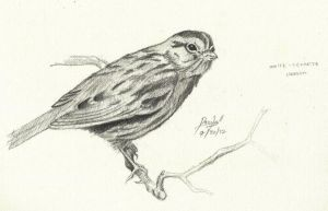 White-Throated Sparrow by TheR-tist
