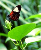 Doris Longwing Butterfly by TheSleepyRabbit
