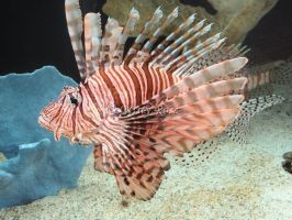 Aquarium: Lion Fish by Night-OfThe-Huntress