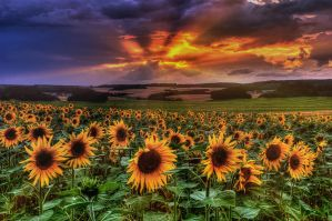 sunflowers at sunset by stg123