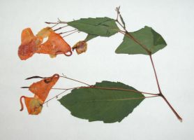 Pressed Jewelweed by Rubyfire14-Stock