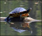 Turtle by FrankAndCarySTOCK