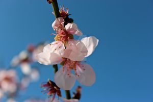 Almond Flower by Marydos1997