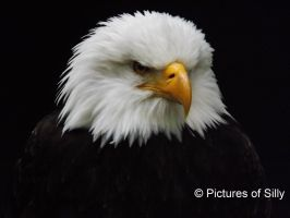 Bald Eagle by PicturesofSilly