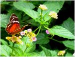 Butterfly on the flowers 4 by cessar