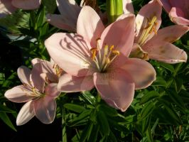 Pink Asiatic Lily 8 by racheltorres921