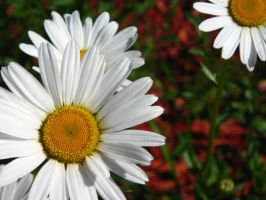 Daisies WP by punchedtoast