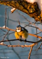 Blue Tit by PictureByPali