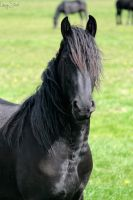 Friesian Head by Linay-stock