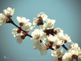 apricot in full bloom by ilura-menday-less